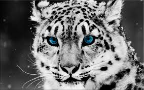 snow leopards paintings wall art giclee canvas prints pictures paintings stretched frame ready to hang on snow leopard canvas wall art with snow leopards paintings wall art giclee canvas prints pictures