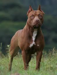 brown pit bull wallpaper for phones and tablets 450x590