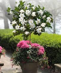 gardenia tree in small fragrant garden