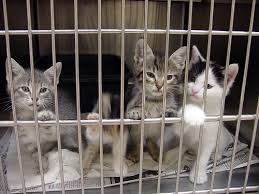 cats in animal shelters. Brilliant Shelters The Bill Is Intended As A Preliminary Step To Help The State Address Its  High Rate Of Animal Shelter  Throughout Cats In Animal Shelters