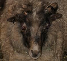 Goat Lice Blind Bob Naked Shortcake Wild Hens And The Eternal Goat