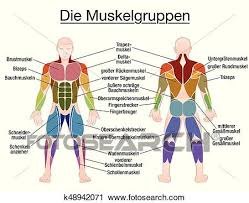 Muscle Diagram German Text Male Body Clipart K48942071