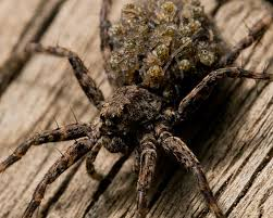 Spider Identification Chart Arkansas Dangerous Spiders In Arkansas To Watch Out For