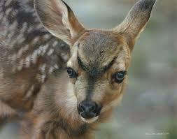 carl brenders spotted mule deer