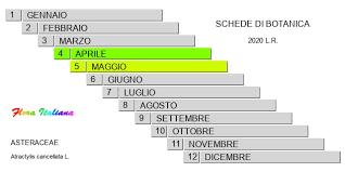 Atractylis cancellata [Masticogna annua] - Flora Italiana