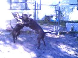 pitbull dog fights in the hood. To Pitbull Dog Fights In The Hood