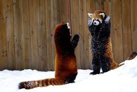 Panda Winter Snow Desktop Wallpaper ...