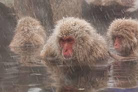 Monkey Uses Vending Machine New Snow Monkeys Daytrip From Tokyo