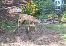 how to keep deer out of your garden. Keeping Deer Out Of The Garden: Fawn Entering Garden How To Keep Your V