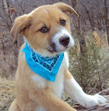 the adoptable shepherd mix puppies pictures 556837