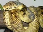 Images & Illustrations of amethystine python