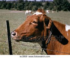 barbed wire fence cattle. 1960S Guernsey Cow Head Near Barbed Wire Fence Summer Flies On Face Monroe New York Usa Cattle E
