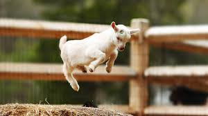 most funny and cute baby goat videos pilation 2018