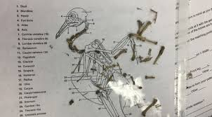 Owl Pellet Skeleton Reconstruction Chart Dissection A Thousand Finds
