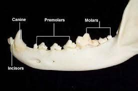 Canine Dog Teeth Chart Dental Anatomy Of Dogs
