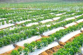 chili peppers garden vegetable furrow stock photo 111401475