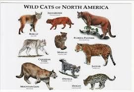 ocelot size art postcard wild cats of north america jaguarundi bobcat ocelot