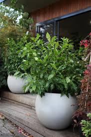 small trees for pots