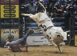 rodeo bulls animals. Fine Bulls A Bull Rider In Albuquerque New Mexico Was Lucky To Escape Alive After His  Boot And Spur Caught Hold Of A Strap Still Attached The Bucking Animal Throughout Rodeo Bulls Animals