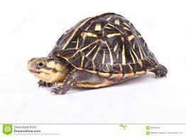 Florida Box Turtle Terrapene Carolina Bauri Stock Image