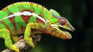 Chameleons Color Changing Mystry Resolve Credit Goes To Nanocrystals