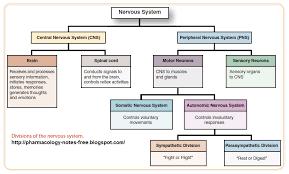 Nervous System Flow Chart Division Of Nervous System Nancy Nguyen Ch 12 Nervous System