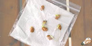 How To Germinate Flower Seeds Paper Towel Growing Beans In A Bag Bean Experiment For Kids Science Kiddo