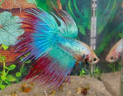 Betta Fish Chart Siamese Fighting Fish Betta Betta Splendens Fish Guide
