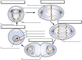 Mitosis Worksheet And Diagram Identification - Delibertad