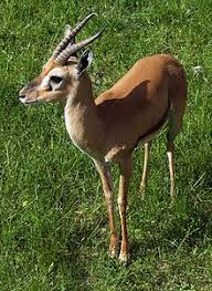 Image result for ethiopian endemic mammals