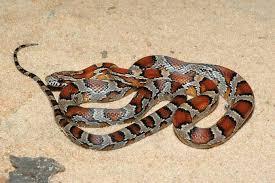 """Résultat de recherche d'images pour """"Le Grand Désert de Victoria serpents"""""""