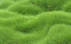 carpet grass. lawn grass carpet