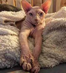 angry hairless cat.  Angry Sphynx Cat Switzerland Inside Angry Hairless Cat