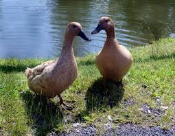 Domestic Duck Breeds Chart Duck Breeds 14 Breeds You Could Own And Their Facts At A Glance