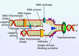 dna replication molecular machinery involved in dna replication
