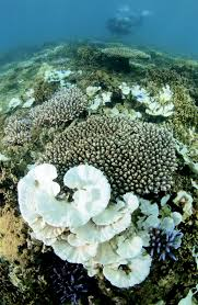 why coral reefs are dying sunscreen killing reefs time corals are bleached on a seabed near okinawa island on aug 26 2013