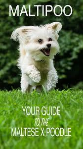 maltipoo guide