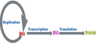 Venn Diagram Of Transcription And Translation Difference Between Replication And Transcription With