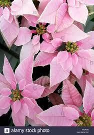 Rosa Weihnachtsstern Xmas Flower Stockfoto Bild 164413921