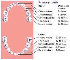 Teething Chart Babies Canadian Dental Association