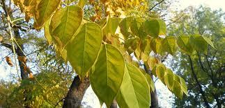 Favorite add to kentucky coffee tree wood pen (#2) shafferwoodcreations. Tree Of The Month Kentucky Coffeetree Casey Trees