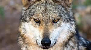 Αποτέλεσμα εικόνας για wolf