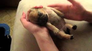 newborn pug puppies. Modren Pug For Newborn Pug Puppies B