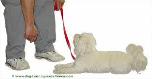 white dog laying down training hand signal down dog training mand