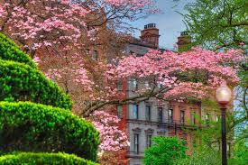 boston public garden dogwood trees in spring