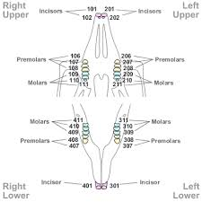Cat Dental Chart Tooth Numbering In Other Species