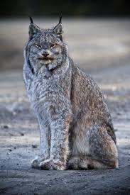 lynx size canada lynx wikipedia