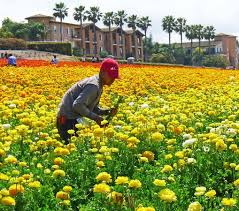 carlsbad flower fields working the fields
