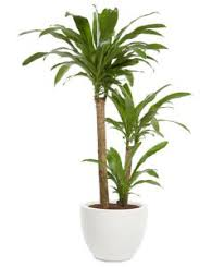 office tree. This Tall Floor Plant Is As Close You Can Get To Having A Tree In Your Office Also Known Corn One Will Flower Regularly If The