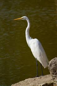 key west tropical forest and botanical gardens a white morph great blue heron sometimes called a great white heron